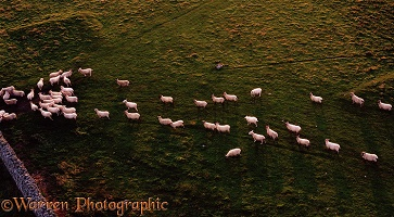 Sheep following each other like sheep