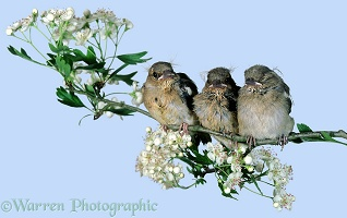 Trio of baby Chaffinches