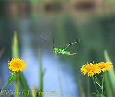 Short-winged Conehead leaping