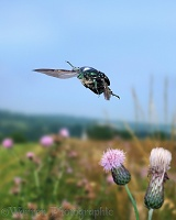 Rose Chafer taking off