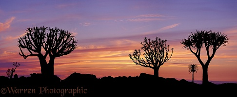 Quiver Trees at sunset