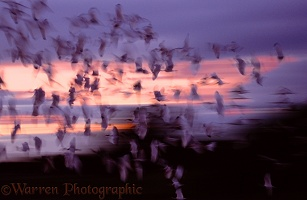 White Ibis flock at dusk