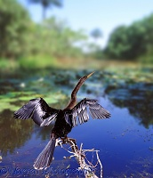 Anhinga drying its wings