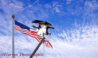 Osprey with stars & stripes
