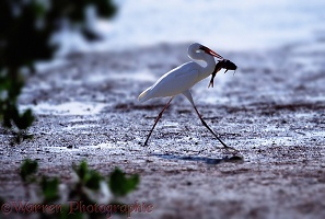 Great White Egret with catfish