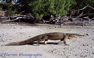 Alligator on mud flats