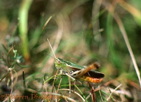 Stripe-winged grasshopper stridulating