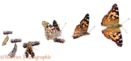 Painted Lady Butterfly sequence