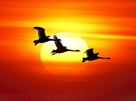 Whooper Swans at sunset