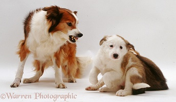 Border Collie bitch snarling at a pup