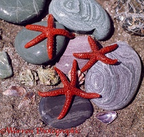 Bloody Henry Starfish