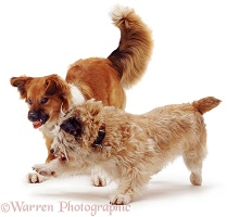 Dogs in aggressive confrontation
