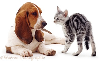 Basset Hound and silver kitten