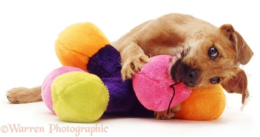 Puppy with colourful toy