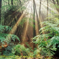 Woodland with mist and sunbeams