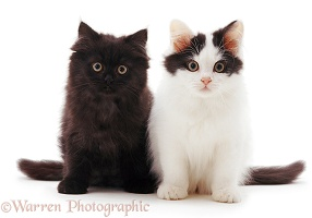 Black and black-and-white kittens sitting