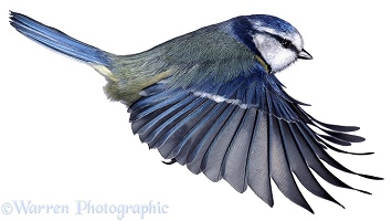 Blue Tit side view