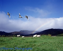 Whooper Swans and sheep