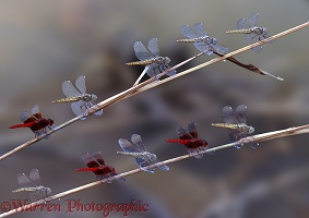 Dragonflies on Gambia River