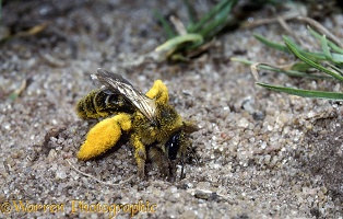 Hairy-legged Mining Bee