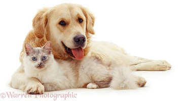 Golden Retriever friendly with Birman cat