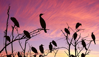Egrets and cormorants at sunset