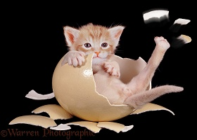 Kitten in egg