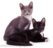 Blue and black kittens