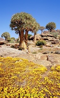 Desert flowers and Quiver Trees