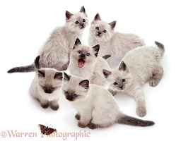Six Colourpoint kittens in a group
