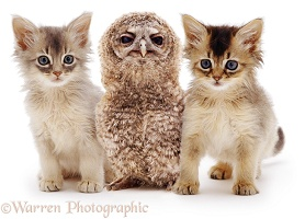 Baby Tawny Owl and Somali kittens