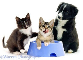 Kittens in a bowl with puppy