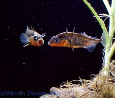 Male Sticklebacks fighting