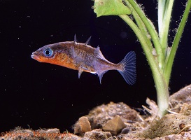 Stickleback s-display
