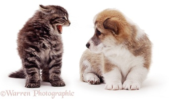 Kitten hissing at a Corgi pup