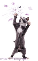 Kitten reaching up and exploding a balloon