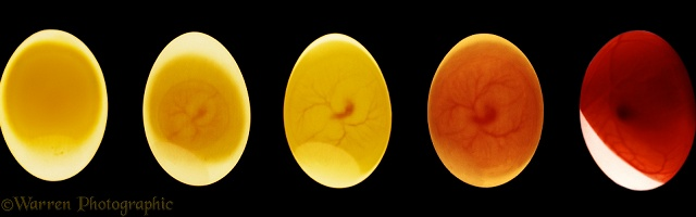 Candled Pigeon's egg
