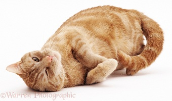 Ginger cat rolling