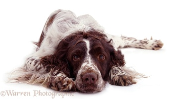 Springer Spaniel with chin on ground