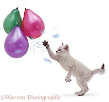 Cat reaching and bursting a balloon