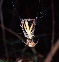 Garden Spider with grasshopper prey