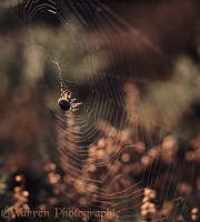 Garden Spider building web