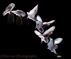 Barn Owl hunting sequence
