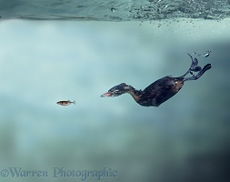 Little Grebe chasing a Stickleback