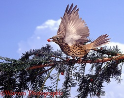 Mistle Thrush picking yew berry