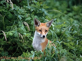 Fox cub portrait