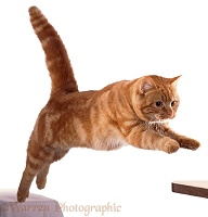 Ginger Cat leaping forward