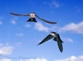 House Martin fledglings in flight