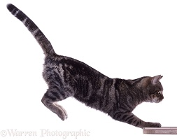 Tabby Cat leaping (series No 3)