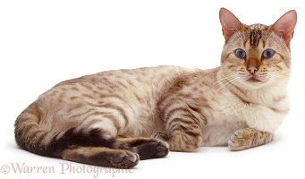 Bengal cat lying down